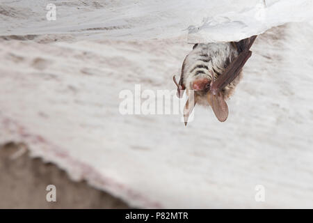 Bechsteinsvleermuis dans winterslaap, Bechstein's bat en hibernation Banque D'Images
