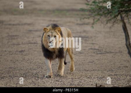 La crinière d'un noir désert du Kalahari lion dans la brousse