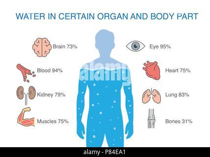 L'eau dans certaines parties du corps et d'organes de l'homme. Banque D'Images
