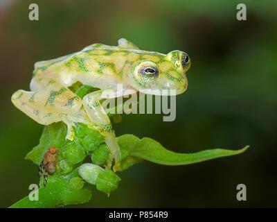 Glaskikker, Fleischmann's Glass Frog Banque D'Images