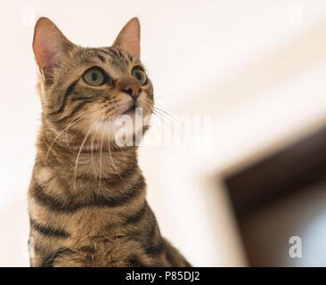 Belle feline chat à la maison. Animal domestique Banque D'Images