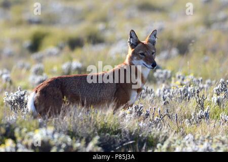 Le loup, Canis simensis éthiopien) une espèce endémique de prédateurs les hauts plateaux éthiopiens. Banque D'Images