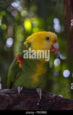 Les oiseaux sauvages colorées sont sauvés des propriétaires d'animaux illégaux. Ils sont parmi les plus intelligents et anuimals peut répéter entre 40 et 80 mots. Banque D'Images