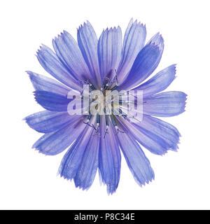 Chicorée fleurs isolé sur fond blanc. Close-up d'une plante photographiée à partir de ci-dessus a des propriétés curatives Banque D'Images
