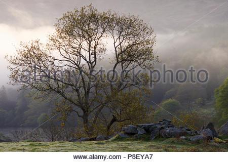 Oak tree (g. Quercus) par un mur tombé tôt le matin dans la brume; Parc National de Snowdonia; Pays de Galles; UK Banque D'Images