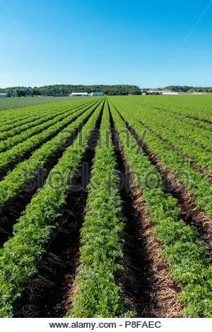 Carottes poussant dans un champ sur un polder marsh farm, près de Bradford, Ontario Canada Holland Marsh Banque D'Images