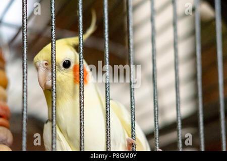 Cockatien mâle, adulte vu avec son oiseau en cage. Banque D'Images