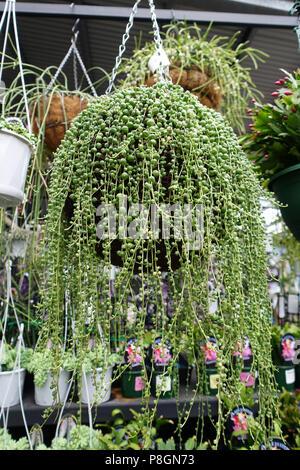Senecio rowleyanus collier de perles de plus en plus succulents en suspension Banque D'Images