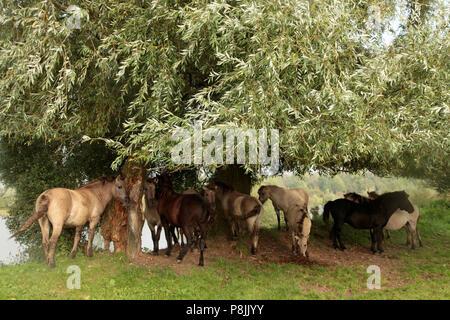 Groupe de konik-chevaux sous un saule Banque D'Images