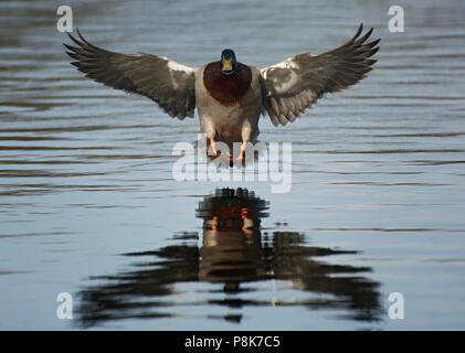 Drake, Mallard Anas platyrhynchos, sur le point d'atterrir dans l'eau, Lancashire, UK Banque D'Images