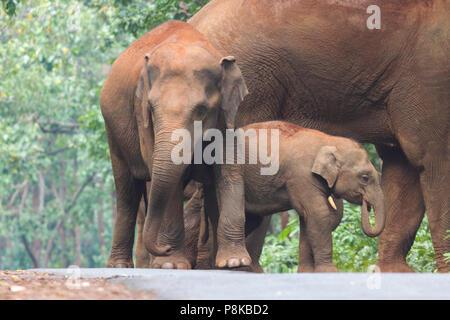 L'éléphant d'Asie, ou de l'éléphant d'Asie (Elephas maximus) troupeau errant dans Kuldia sanctuaire la faune dans l'Orissa en Inde