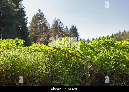 Hoghweed géant à sec et de nouveaux jeunes plantes (appelé barszcz) Sosnkowskiego sur la rive de la rivière. Banque D'Images
