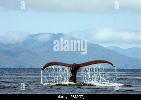 Juste avant une plongée une baleine à bosse se courbe le dos et soulève sa queue