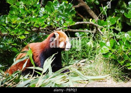 Close up image d'un panda rouge (Ailurus fulgens) with copy space Banque D'Images