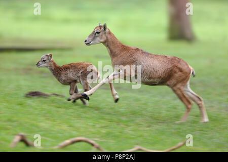 Les mouflons d'exécution brebis avec son agneau. Banque D'Images
