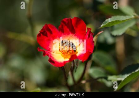 Abeille recueille nectar des fleurs d'une fleur rouge