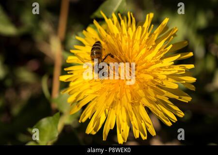 Près d'une abeille la collecte du pollen de beaux pissenlits jaunes Banque D'Images