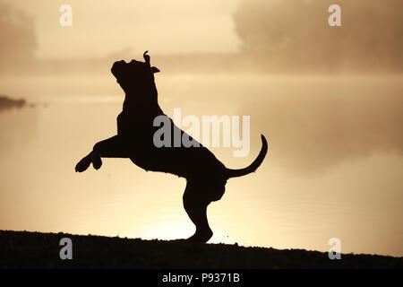 Silhouette d'un chien boxer allemand Banque D'Images