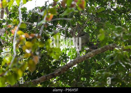 Une mère et son bébé trois orteils, sloth suspendu dans le couvert forestier dans parc Manuel Antonio au Costa Rica. Banque D'Images