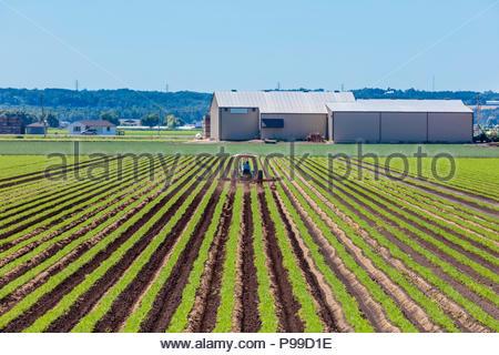 Rotoculteur tracteur labourant un carottes poussant dans un champ sur un polder marsh farm, près de Bradford, Ontario Canada Holland Marsh Banque D'Images