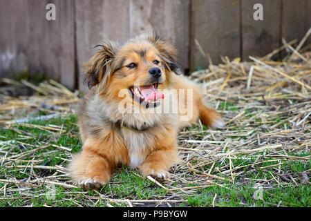 Le joli chien se trouve dans la cour. Fluffy redhead mongrel. Banque D'Images
