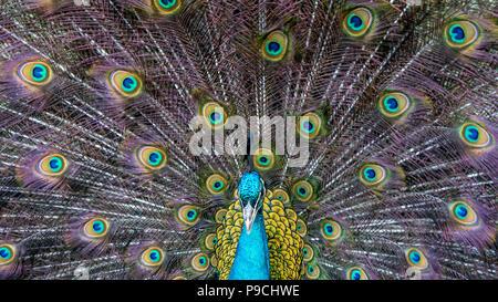 Gros plan d'une belle femelle bleu indien peafhibou. Oiseau de peahen Pavo statut, perché sur une clôture dans une forêt verte. Banque D'Images