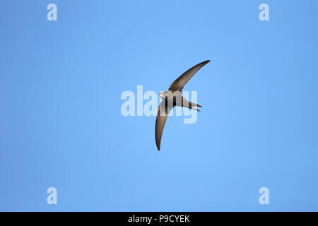 Swift Apus apus (commune) Banque D'Images