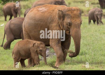 Un éléphant par veau du côté de sa mère dans le Parc National Minneriya au Sri Lanka. Éléphant (Elephas maximus) sont réputés pour se rassembler autour de t