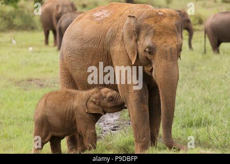 Un éléphant dans l'alimentation des veaux dans le Parc National Minneriya Sri Lanka. Éléphant (Elephas maximus) sont réputés pour se rassembler autour de ce réservoir en mi