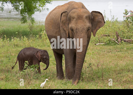Bébé éléphant avec sa mère dans le Parc National Minneriya au Sri Lanka. Éléphant (Elephas maximus) sont réputés pour se rassembler autour du réservoir