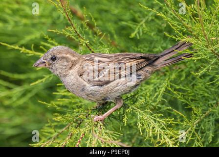 Oiseau Moineau domestique (Passer domesticus), vue latérale, perché dans un buisson en été dans le West Sussex, Angleterre, Royaume-Uni. Banque D'Images