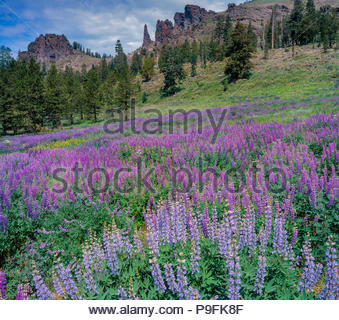 Blue Lupin, Lupinus angustifolius, Horse Prairie, Emigrant Wilderness, forêt nationale Stanislaus, la Sierra Nevada, en Californie Banque D'Images