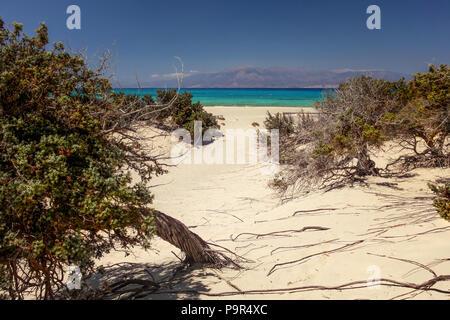 Grand à genévrier (Juniperus macrocarpa) des arbres sur la mer avec plage de sable à distance. L'île de Chrissi, Ierapetra, Grèce