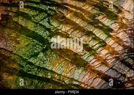 Rock coloré humide d'algues à Sharktooth Cove, au nord de Santa Cruz, Californie, USA.