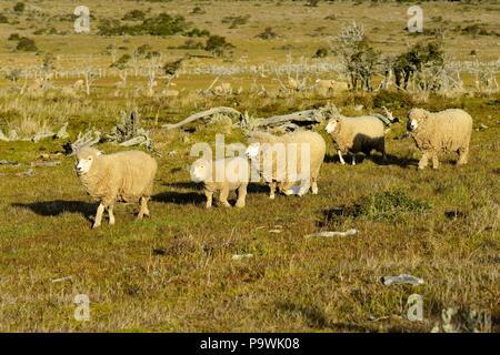 Des moutons à la laine dense dans le pâturage, près de Puerto Natales, Última Esperanza province, en Patagonie, au Chili Banque D'Images