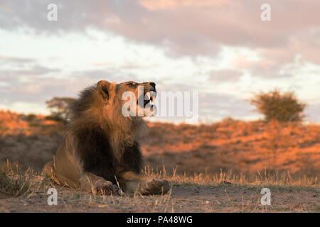 Lion (Panthera leo), mâle, Kgalagadi Transfrontier Park, Afrique du Sud, Banque D'Images
