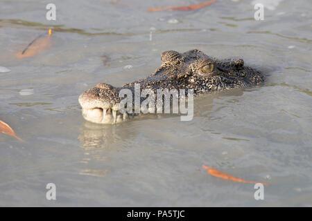 Saltwater Crocodile, l'ouest de l'Australie Banque D'Images
