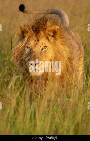 La crinière d'un lion mâle adulte en charge de la prairie preserve Masai Mara au Kenya Banque D'Images
