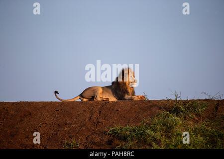 Hommes Sud African Lion Panthera leo allongé sur la rive d'un barrage dans la lumière du matin Banque D'Images