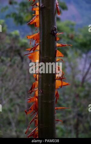 L'écorce d'orange au soleil d'un gumbo limbo arbre dans la lumière du midi Banque D'Images