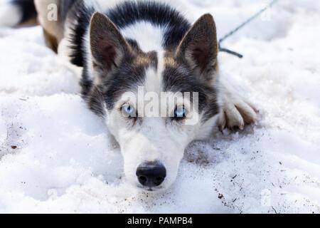 Alaskan Husky espiègle chien regarde droit dans la caméra tout en jetant dans la neige Banque D'Images