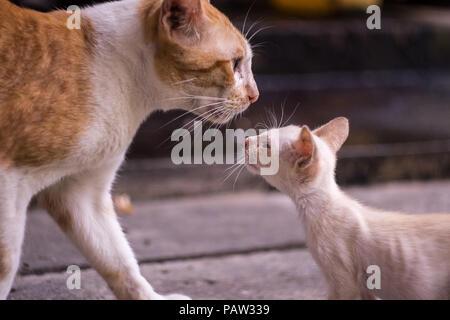 Close up chaton blanc est à la mère à l'amour de chat Banque D'Images