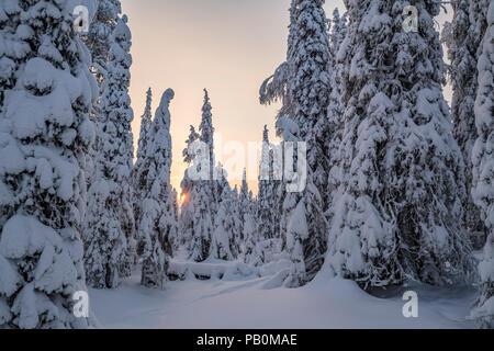 Arbres couverts de neige, Parc National de Riisitunturi, Espoo, Helsinki, Finlande Banque D'Images