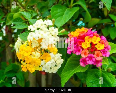 Lantana ton coloré fleurs beauté entre jardin et piscine Banque D ...