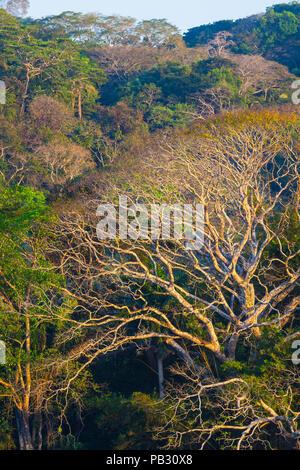 Lumière du soir sur la forêt tropicale dans le parc national de Soberania, République du Panama. Banque D'Images