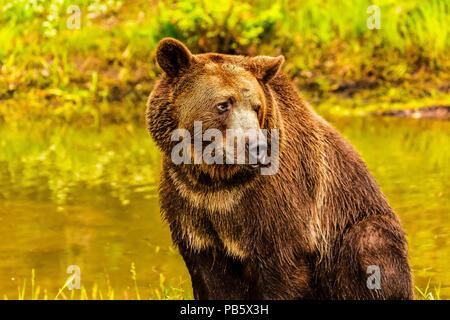 Assis près de l'ours grizzli étang à Banque D'Images
