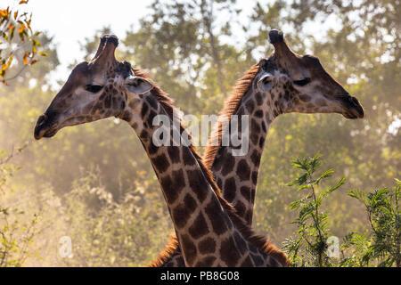 La girafe réticulée (Giraffa camelopardalis) deux mâles combats dans le bush, l'Afrique du Sud. Banque D'Images