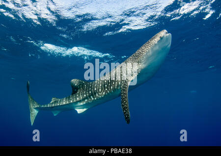 Requin-baleine (Rhincodon typus) Cenderawasih Bay, en Papouasie occidentale. L'Indonésie.