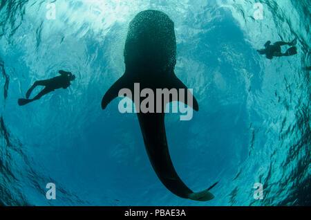 Requin-baleine (Rhincodon typus) et les plongeurs vu du dessous, Cenderawasih Bay, en Papouasie occidentale. L'Indonésie.