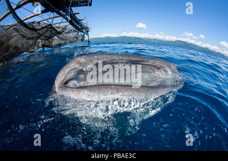 Requin-baleine (Rhincodon typus) s'alimenter à Bagan (pêche), plate-forme flottante Cenderawasih Bay, en Papouasie occidentale, en Indonésie. Vainqueur de l'homme et la nature Portfolio Prix dans la nature Terre Sauvage dans le cadre du concours de bourses de 2015 images. Banque D'Images